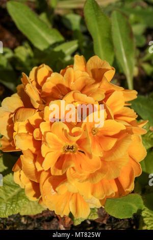 Primrose flower in bloom in a spring urban garden, Greater London, England, United Kingdom, Europe - Stock Photo
