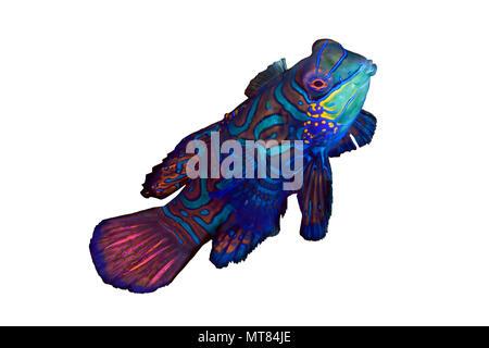 Close up image of colorful Mandarinfish (Synchiropus Splendidus). Lembeh Straits, Indonesia. - Stock Photo