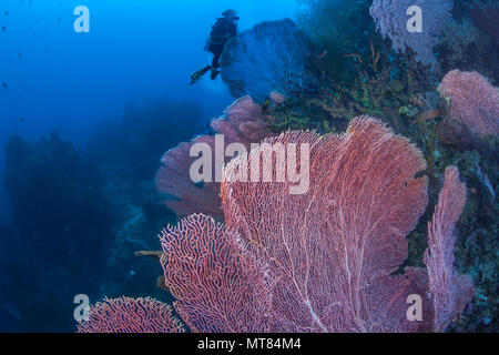 Female scuba diver explores coral reef wall populated with large gorgonian seafans. Raja Ampat, Indonesia. - Stock Photo