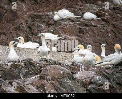 Nesting Northern gannets, Sula bassana, Bass Rock colony, North Berwick, East Lothian, Scotland, UK - Stock Photo