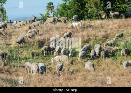 A mixed flock of approximately 300 hundred sheep and goats recently undertook the job of clearing over grown weeds and grass on Travis Air Force Base, May 17, 2018. The animals can easily clear land on steep hillsides and rough rocky terrain, and eliminates the need to dispose of the debris and the use of noisy machinery, while saving time and money. (U.S. Air Force Photo by Heide Couch) - Stock Photo