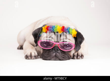 adorable pitiful pug puppy dog, lying down flat. wearing hawaiian flower garland and pink sunglasses, on white background - Stock Photo