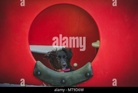 A small, black, fluffy cockapoo/shetland sheepdog puppy looks out of a circular window at a playground. - Stock Photo