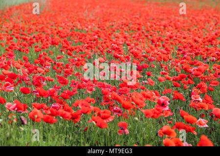 Poppy flower field - Stock Photo