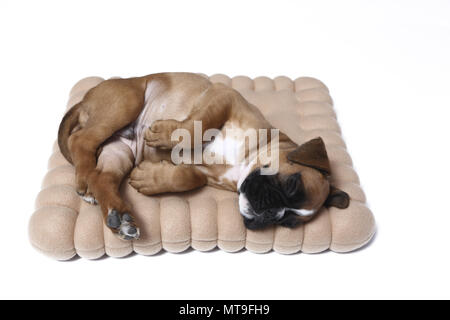 German Boxer. Puppy (7 weeks old) sleeping on a cookie-shaped cushion. Studio picture - Stock Photo