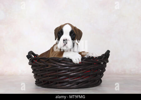 German Boxer. Puppy (7 weeks old) in a basket. Studio picture. Germany - Stock Photo