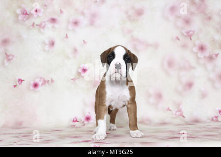 German Boxer. Puppy (7 weeks old) standing. Studio picture seen against a white background with flower print. Germany - Stock Photo