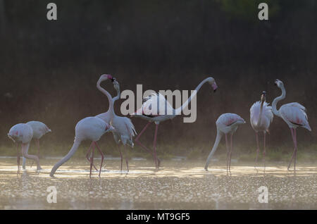 Greater Flamingo (Phoenicopterus roseus). Feeding and quarrelling at a cold and misty morning. At the Laguna de Fuente de Piedra near the town of Antequera. This is the largest natural lake in Andalusia and Europe's only inland breeding ground for this species. Malaga province, Andalusia, Spain. - Stock Photo