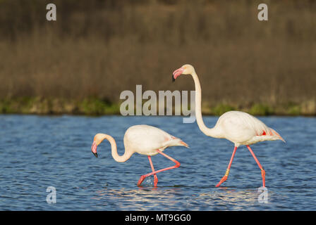 Greater Flamingo (Phoenicopterus roseus). A male in the mood for mating follows a female. At the Laguna de Fuente de Piedra near the town of Antequera. This is the largest natural lake in Andalusia and Europe's only inland breeding ground for this species. Malaga province, Andalusia, Spain. - Stock Photo