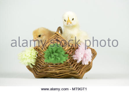 Domestic chicken, Brahma and Bresse Gauloise. Two chicks (1 day old) in a little basket Studio picture. Germany - Stock Photo