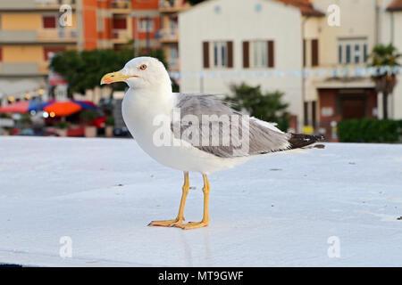 Seagull in the Porto Santo Stefano - Italy - Stock Photo