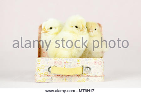 Domestic chicken, Brahma. Three chicks (1 day old) standing in a little suitcase. Studio picture. Germany - Stock Photo