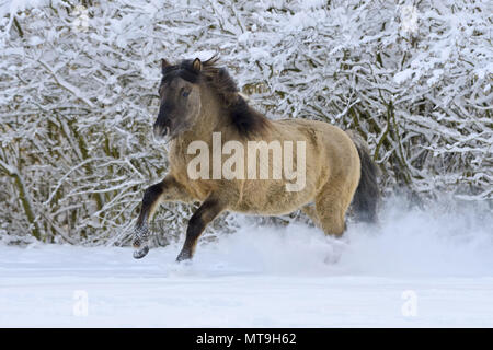 Konik pony galloping in snow. Germany - Stock Photo