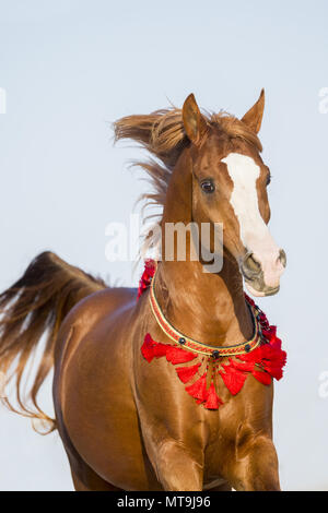 Arabian Horse. Chestnut stallion in a gallop, portrait. Abu Dhabi - Stock Photo