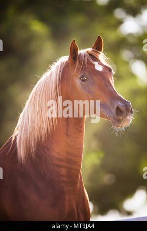 Arabian Horse. Portrait of chestnut stallion. Abu Dhabi - Stock Photo