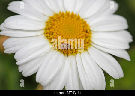 Tiny varied carpet beetle Latin anthrenus verbasci collecting pollen on a marguerite flower or swan river daisy very close to in Italy in springtime - Stock Photo