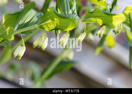 Garden Solomon's Seal, Jätterams (Polygonatum hybridum) - Stock Photo