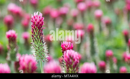 Flower head of crimson clover close-up. Trifolium incarnatum. Beautiful blooming red trefoil in spring field. Idea of green manure and organic farming. - Stock Photo