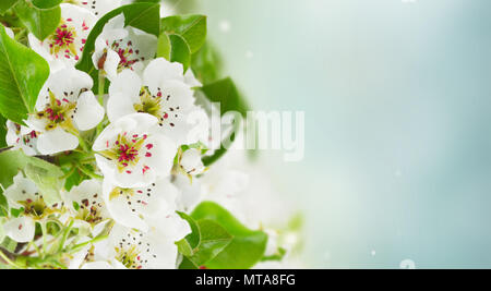 Blossoming apple tree flowers with green leaves against blue sky background banner - Stock Photo