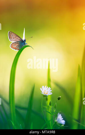 spring card with a little blue butterfly sitting on a forest clearing among the delicate white flowers and green grass - Stock Photo