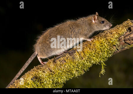 Wild Brown rat (Rattus norvegicus) turning on mossy branch at night. High speed photography image - Stock Photo