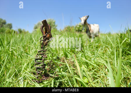 Old rusty metal rod sunk in the ground on the meadow, goat is grazing on the chain, soft background with copyspace for text. Stories about rural life  - Stock Photo