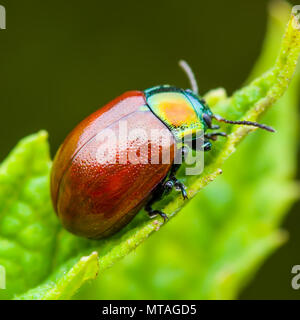 Chrysolina Coerulans Red Mint Leaf Beetle Insect Crawling on Green Leaf Macro - Stock Photo