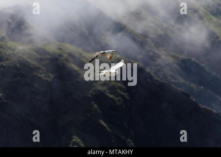 Common Gulls Larus canus flying over misty cliffs Westdale Bay Pembrokeshire Wales England - Stock Photo