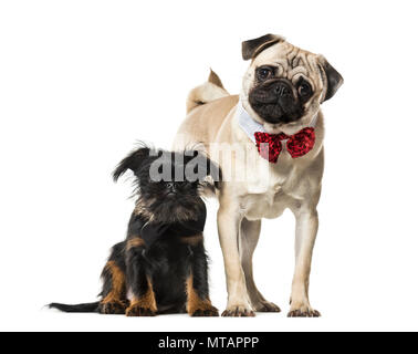 Pug and Griffon together against white background - Stock Photo