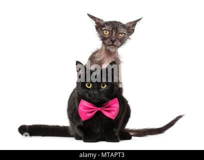 Kitten Lykoi cat, 3 months old, also called the Werewolf cat peering at camera behind black cat against white background - Stock Photo