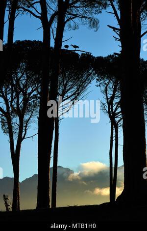 Silhouette of Geese in  Blue Gum Eucalyptus Tree - Stock Photo