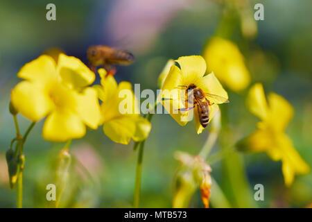 Honey bee collecting pollen from yellow jasmine flower - Stock Photo
