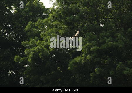 A Single Red kite, Milvus milvus flys above a field with trees in the background. Space for copy.