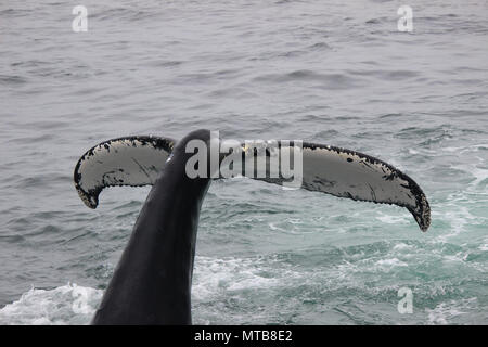 Whales Humpback Feeding and Swimming - Stock Photo