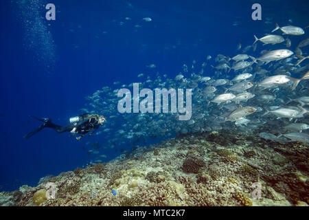Female scuba diver swims with school of bayads in blue water over coral reef. Bayad, Bigeye Trevally or Dusky Jack (Caranx sexfasciatus) - Stock Photo