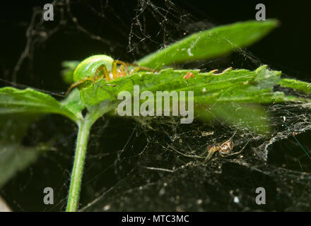 Two spiders on the leaf of Raspberry, a Cucumber green spider on the upper side and a Sheet weaver on the under side - Stock Photo