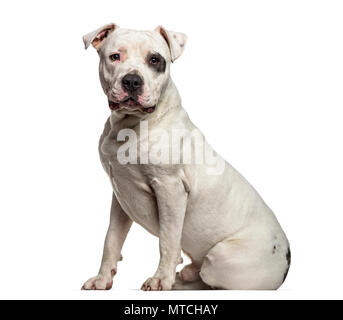 American Staffordshire Terrier , 9 months old, sitting against white background - Stock Photo