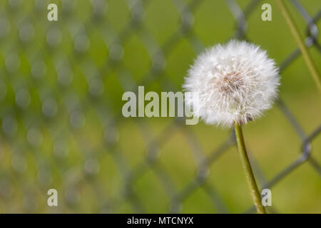Close up view of Dandelion (Taraxacum officinale) clock against metal ring fence - Stock Photo