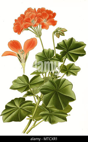 Pelargonium lateripes, Ivy-leafed Geranium, geranium. Pelargonie, digital improved reproduction from a print of the 19th century - Stock Photo