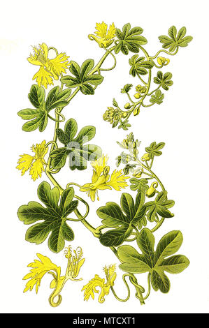 Tropaeolum peregrinum, Canary Creeper, canarybird flower, canarybird vine, or canary nasturtium. , digital improved reproduction from a print of the 19th century - Stock Photo