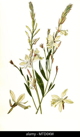 Gaura lindheimeri. Oenothera lindheimeri, Lindheimer's beeblossom, white gaura, pink gaura, Lindheimer's clockweed, and Indian feather. Prachtkerze,  Präriekerze, digital improved reproduction from a print of the 19th century - Stock Photo