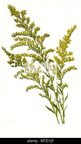 Solidago canadensis, Canada goldenrod, Canadian goldenrod, Canadian Golden Rod. Kanadische Goldrute, digital improved reproduction from a print of the 19th century - Stock Photo
