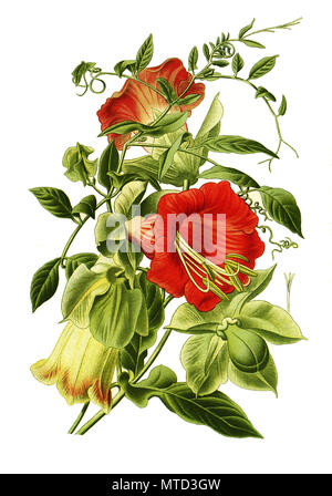 Cobaea scandens, cup-and-saucer vine, cathedral bells, Mexican ivy, or monastery bells. Glockenrebe, Glockenwinde, digital improved reproduction from a print of the 19th century - Stock Photo