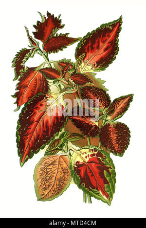 Hybrid Coleus, Plectranthus scutellarioides, painted nettle, Solenostemon scutellarioides. Buntnessel, digital improved reproduction from a print of the 19th century - Stock Photo