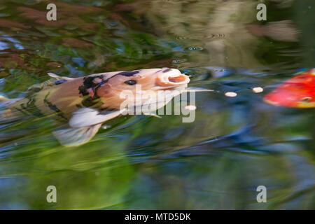 Koi carp near the surface of the pond after pond pellets. northampton, England, UK - Stock Photo