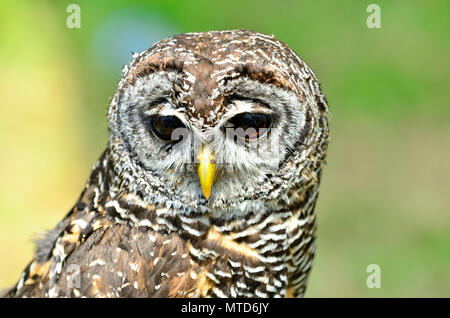 Chaco Owl (Strix chacoensis) found in Bolivia, western Paraguay and northern Argentina. Captive bird in UK - Stock Photo