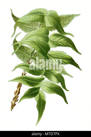 Aspidium falcatum, Cyrtomium falcatum, house holly-fern, Japanese holly fern. Farn, digital improved reproduction from a print of the 19th century - Stock Photo