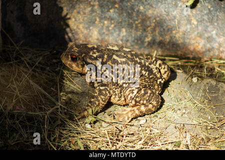 Bufo spinosus, spiny toad, European toad - Stock Photo