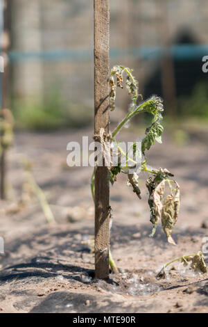 The dried bush of a tomato. The plant withered from lack of water. World Drought. wilted pot plant. drought. dried plants - Stock Photo