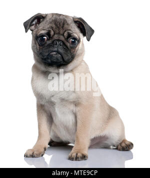 pug puppy (4 months) in front of a white background - Stock Photo